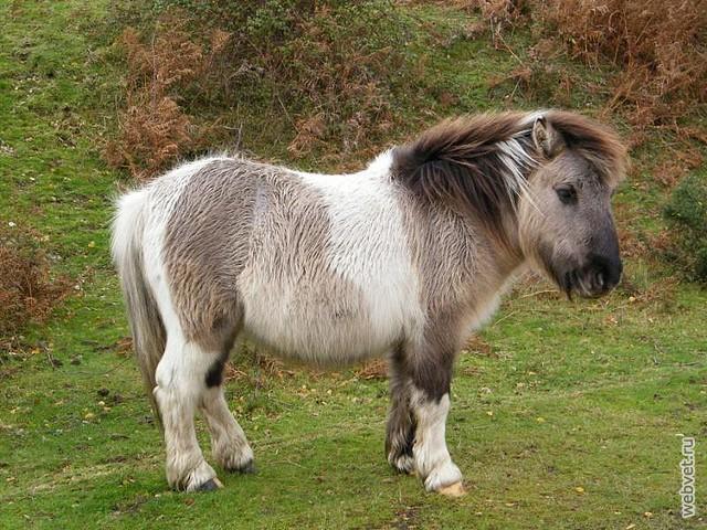 Fluffy horse breed
