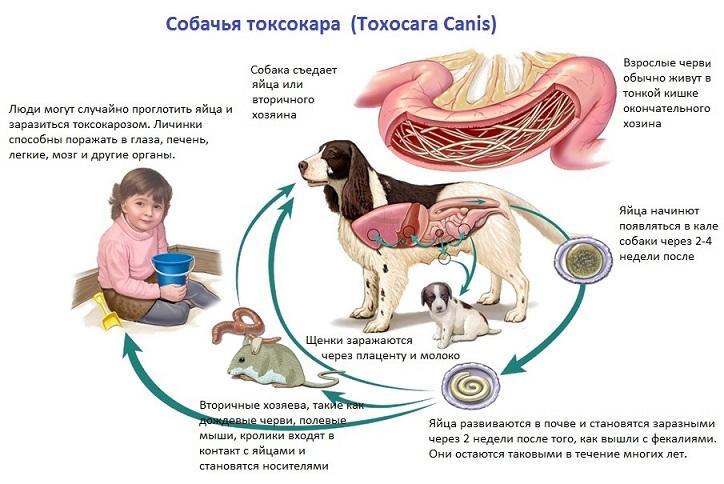 Токсокароз симптомы у беременных